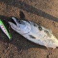 のりさんの青森県三沢市での釣果写真
