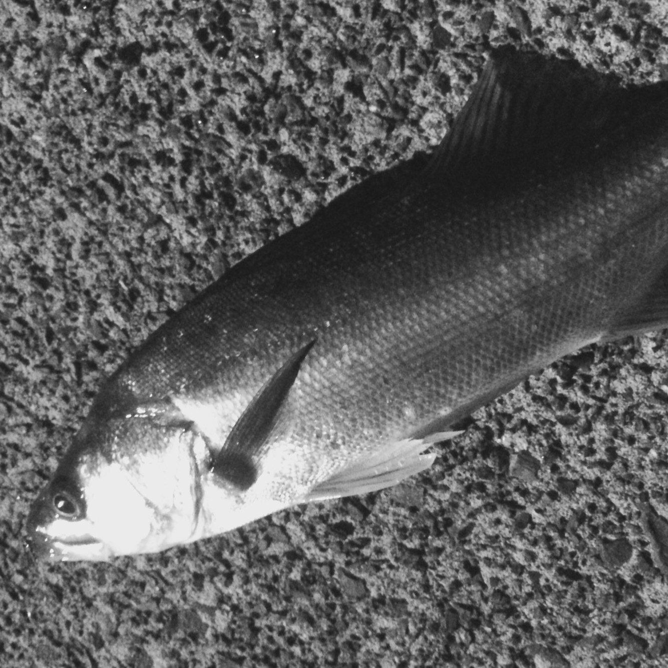 まつむしさんの投稿画像,写っている魚は