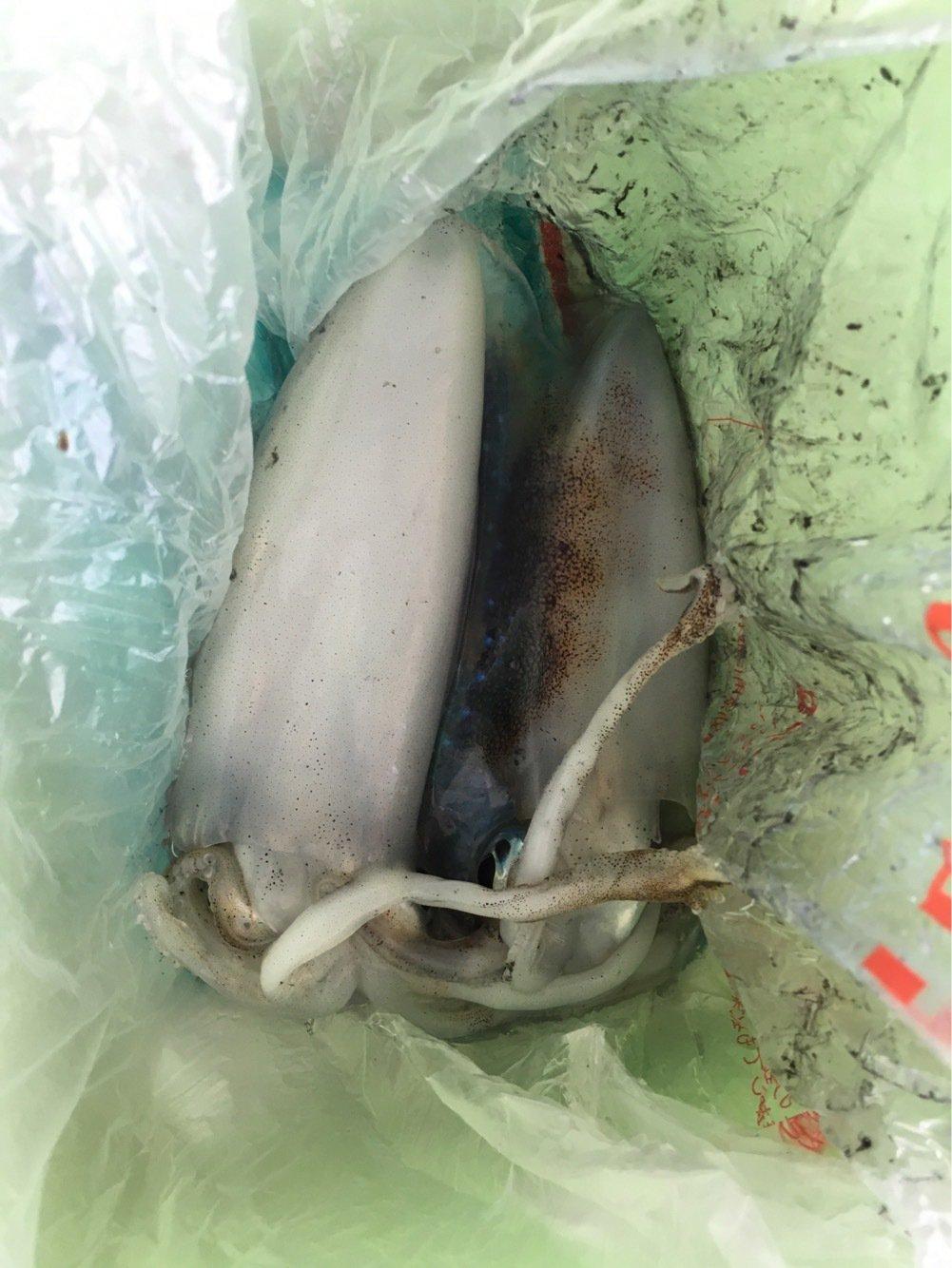 ぬこ好きさんの投稿画像,写っている魚はアオリイカ