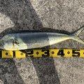 Kさんのシイラの釣果写真