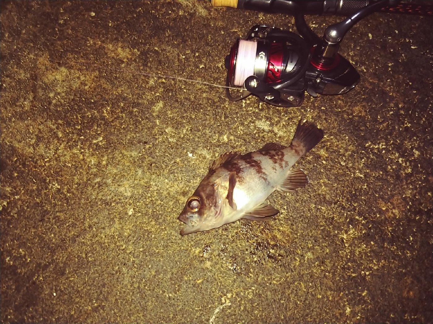 cool-0314さんの投稿画像,写っている魚はメバル