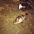 cool-0314さんの新潟県三島郡でのメバルの釣果写真