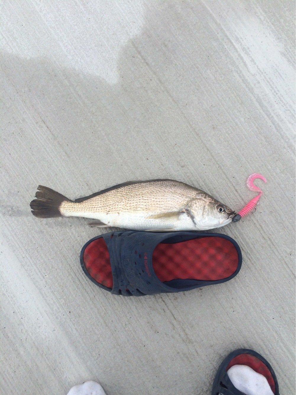クロさんの投稿画像,写っている魚はイシモチ