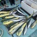 しょうやさんの山口県防府市での釣果写真