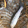 きっくさんの岩手県九戸郡での釣果写真