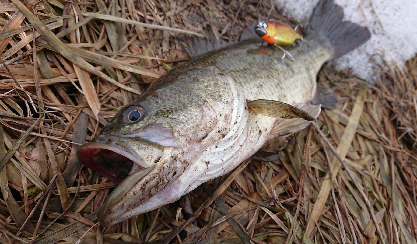 アングラーマサイさんの投稿画像,写っている魚はブラックバス