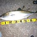 西ナリさんの高知県土佐市での釣果写真