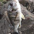 うーみんさんの高知県四万十市での釣果写真