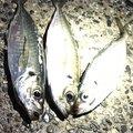 たろうさんの新潟県新発田市での釣果写真