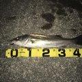 ジュンさんの愛知県東海市での釣果写真