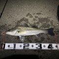 KITAKAZE501さんの愛知県東海市での釣果写真
