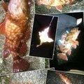 穴釣根魚人  けんぢぃさんの静岡県でのカサゴの釣果写真