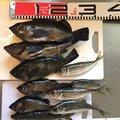 かおるさんの鳥取県岩美郡での釣果写真
