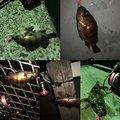 さかもとっぷけいさんの神奈川県三浦市でのカサゴの釣果写真