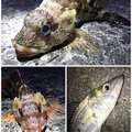 SOL Pianomaniaさんの静岡県でのカサゴの釣果写真