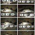 akakage さんの三重県四日市市での釣果写真