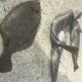FREESTYLE(おーみ)さんの宮城県牡鹿郡でのアイナメの釣果写真