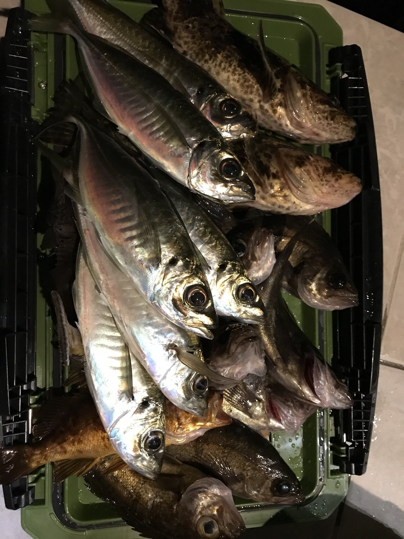 かずさんの投稿画像,写っている魚はタケノコメバル,アジ,メバル