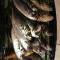 かずさんの石川県輪島市での釣果写真