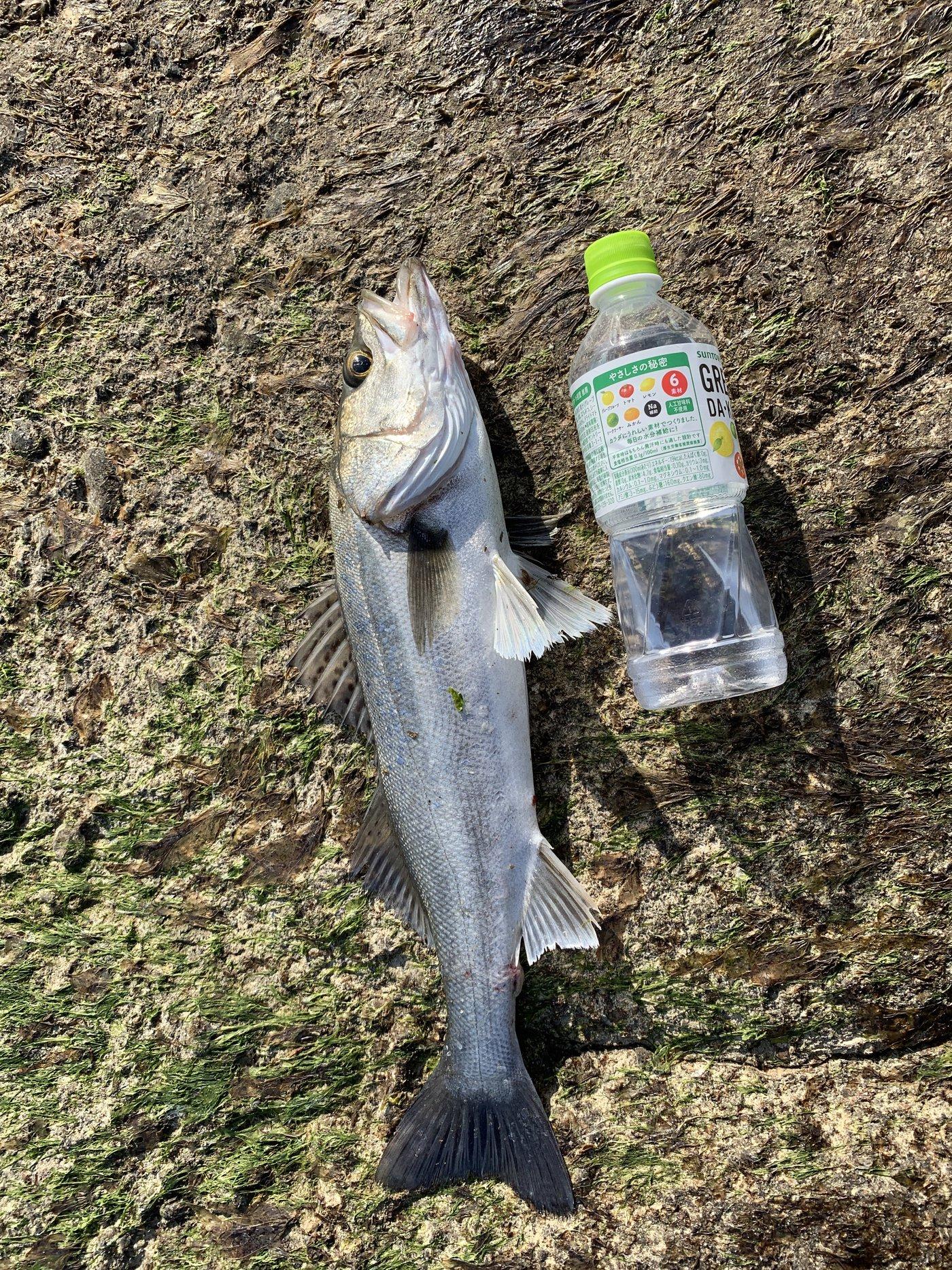 しげっちさんの投稿画像,写っている魚はスズキ,