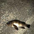 BO_ZUさんのアナハゼの釣果写真