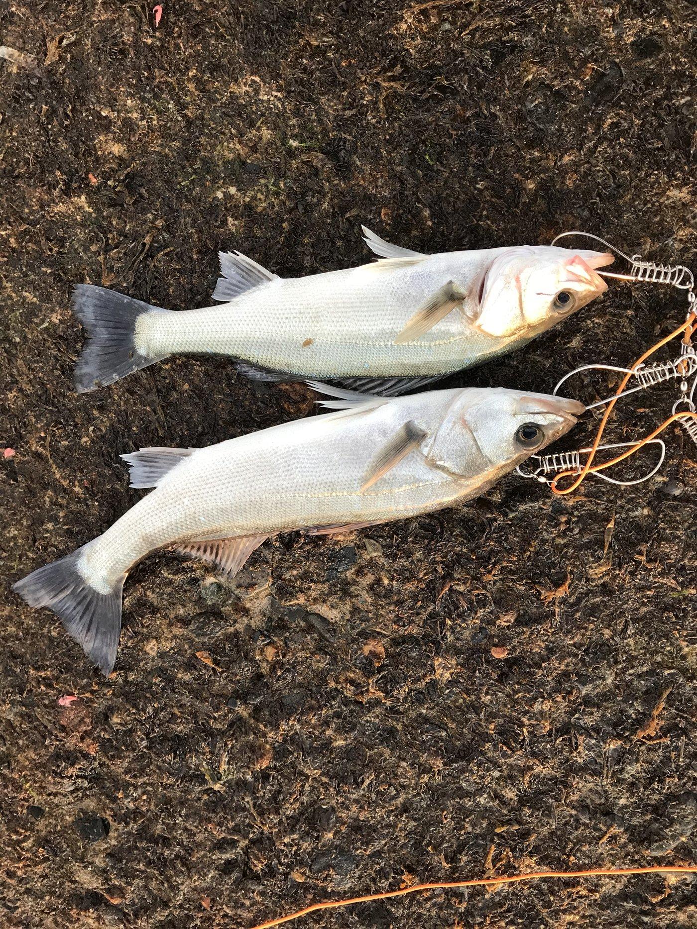 simomuさんの投稿画像,写っている魚はスズキ