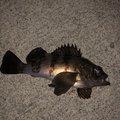 神楽さんの富山県射水市での釣果写真
