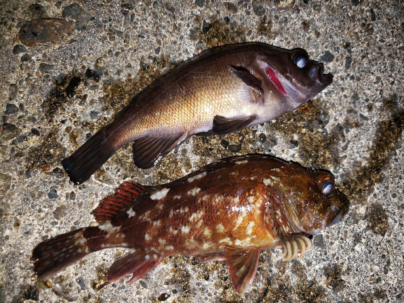 スジカイさんの投稿画像,写っている魚はメバル,カサゴ
