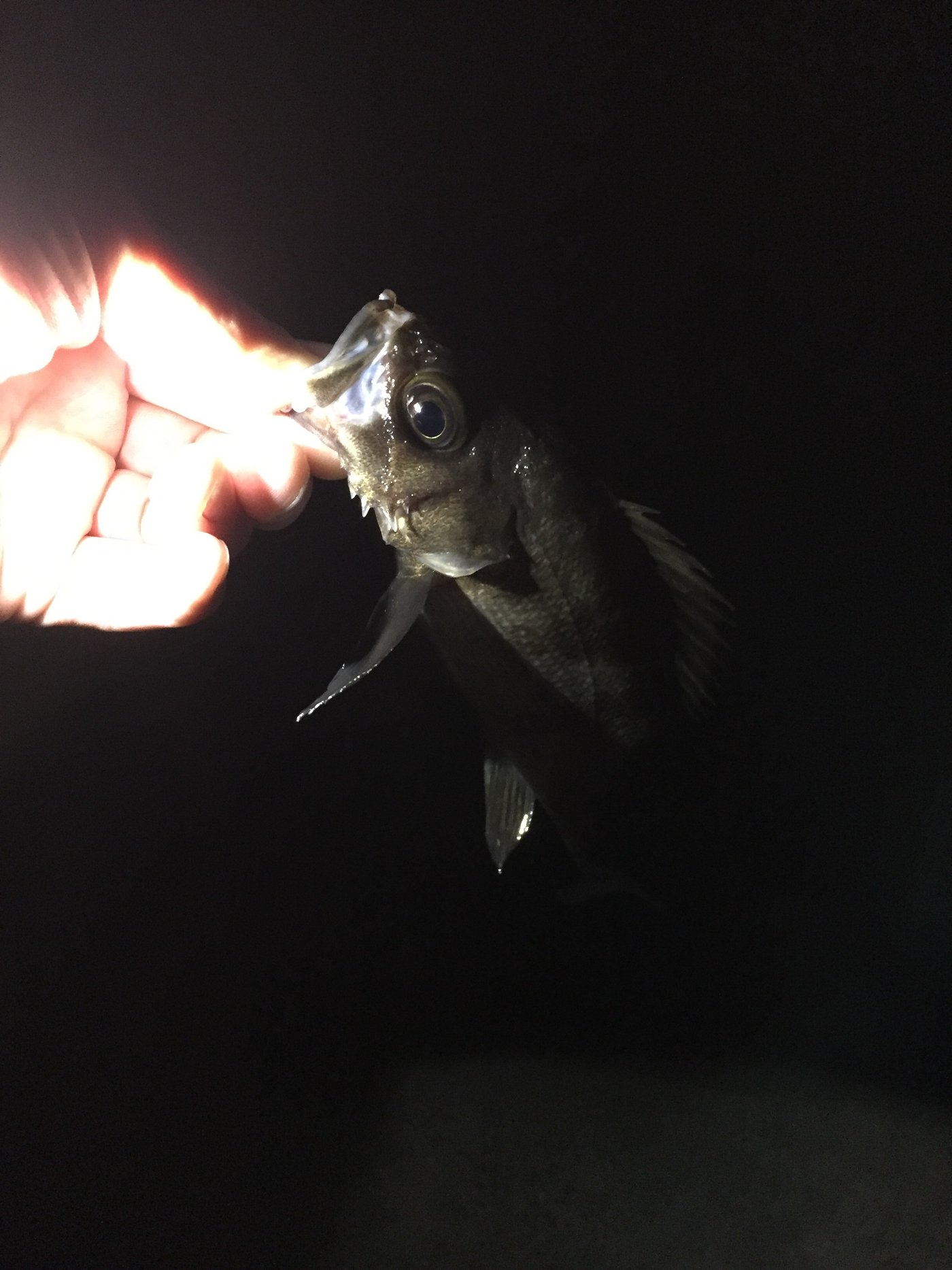 しーんさんの投稿画像,写っている魚はメバル,マサバ