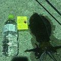 なめこさんの山口県長門市でのアオリイカの釣果写真