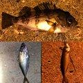 YUUHATSUさんの福岡県でのアジの釣果写真
