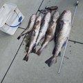 釣り丸さんの岩手県での釣果写真