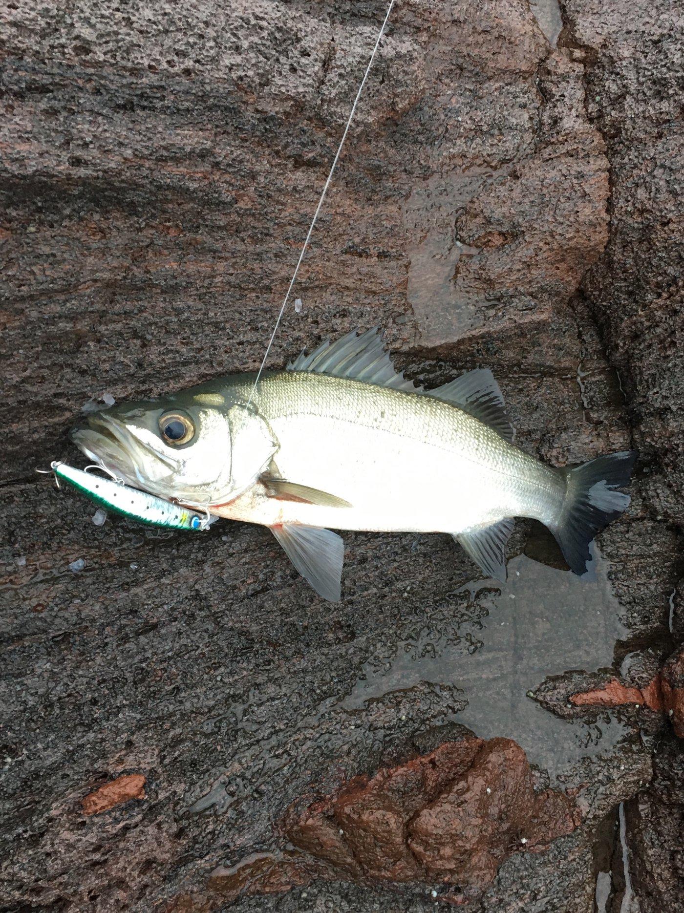 ジーコさんの投稿画像,写っている魚はヒラスズキ