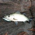 ジーコさんの鹿児島県指宿市での釣果写真