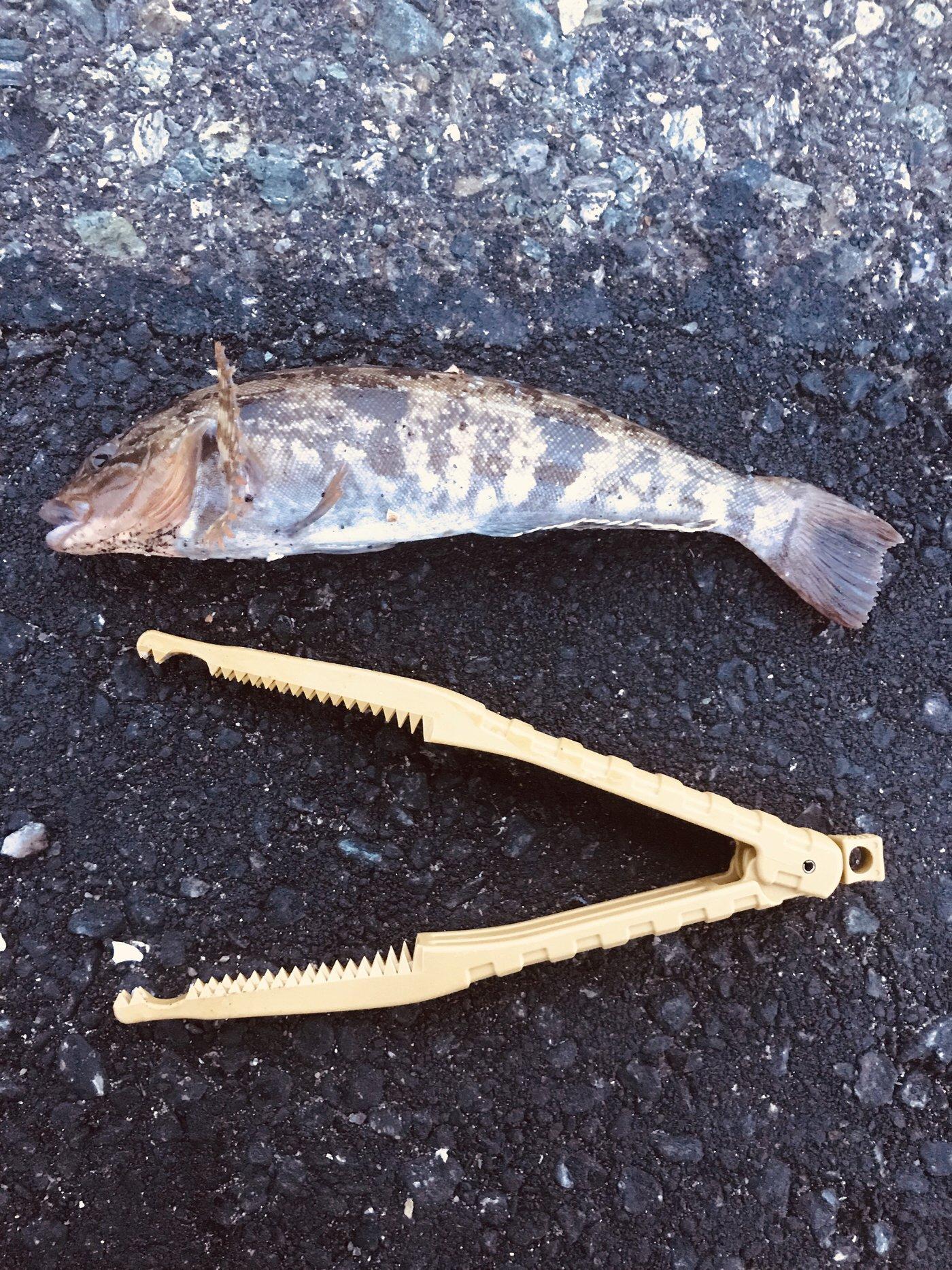 次狼@釣り垢さんの投稿画像,写っている魚はアイナメ