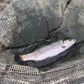 うまさんの福島県での釣果写真