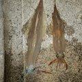 びるそんさんの島根県での釣果写真