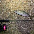 ししゃもえなじーさんの石川県での釣果写真
