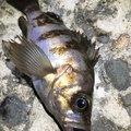 きーくんさんの新潟県北蒲原郡での釣果写真