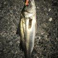 やまさんの千葉県習志野市での釣果写真