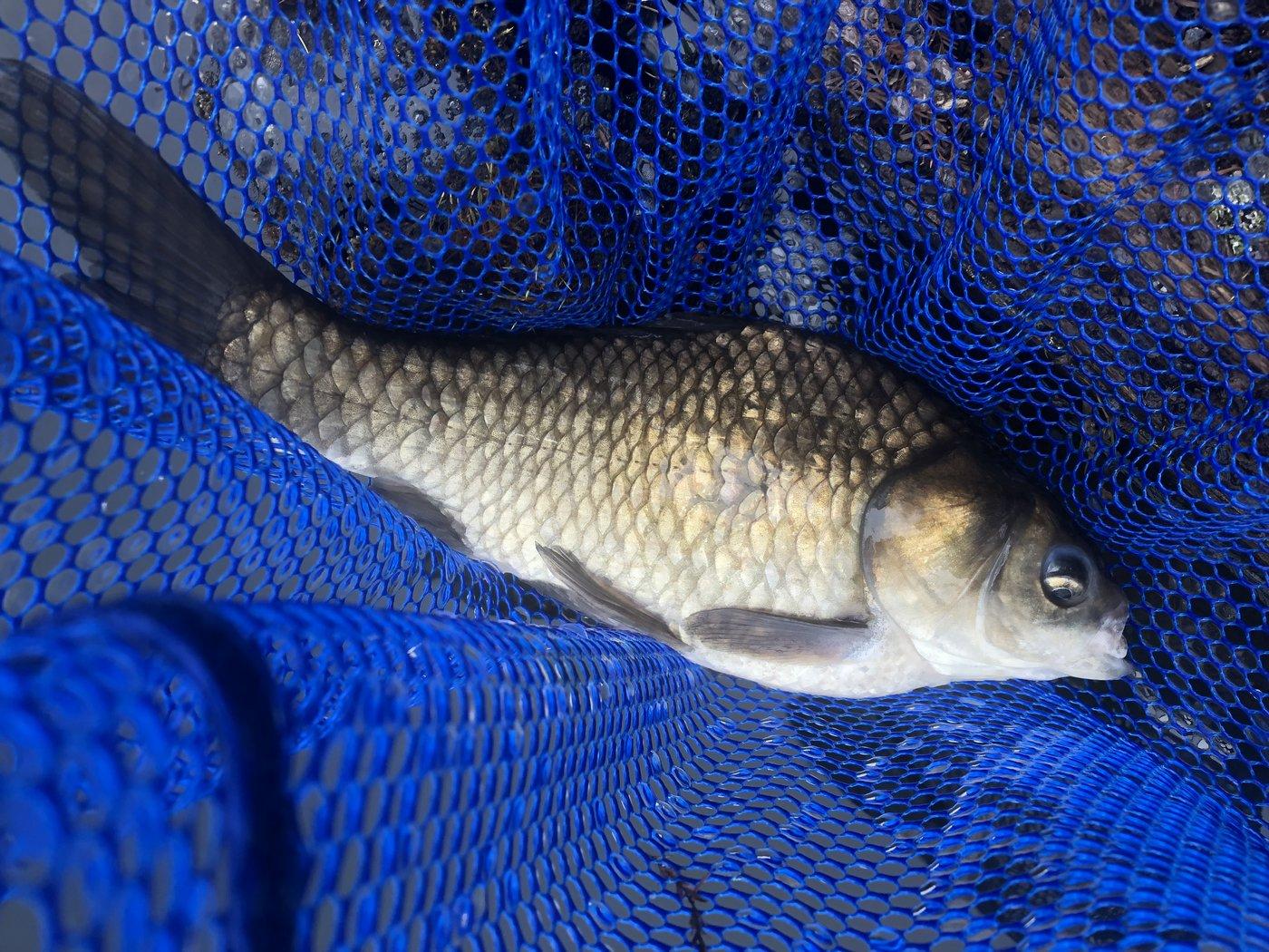 シーアツさんの投稿画像,写っている魚はヘラブナ
