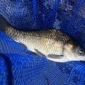 シーアツさんのヘラブナの釣果写真
