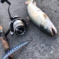 あぶっちさんの北海道での釣果写真