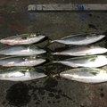 いなしんさんの山口県玖珂郡での釣果写真