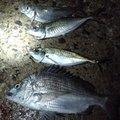 おかひじきさんの新潟県北蒲原郡での釣果写真