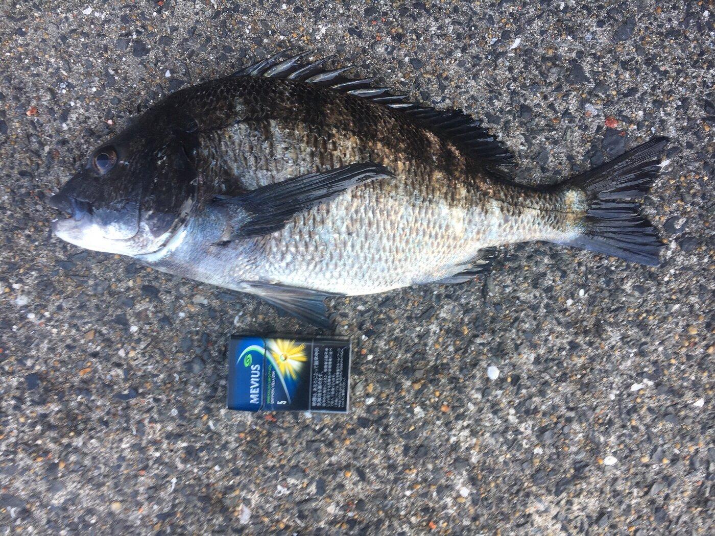 アップフィールド(幻影魚団)さんの投稿画像,写っている魚はクロダイ