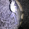 Mochonceliさんの千葉県習志野市での釣果写真