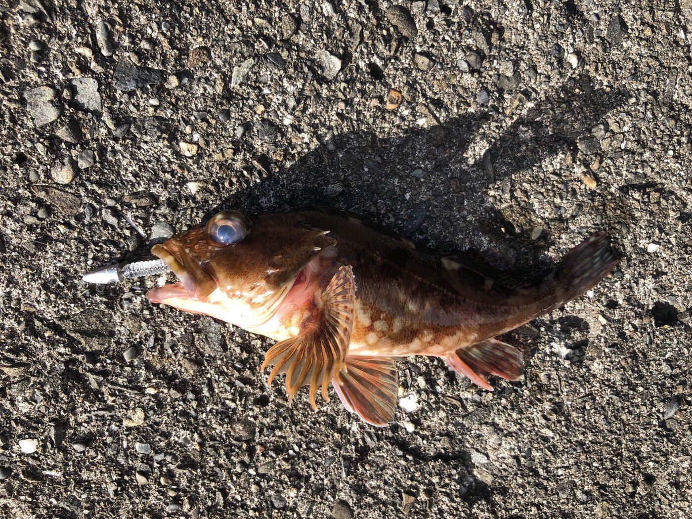 Theさんの投稿画像,写っている魚はカサゴ