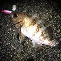 大漁小僧さんの富山県射水市での釣果写真