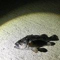 せりーぬさんの宮城県塩竈市での釣果写真